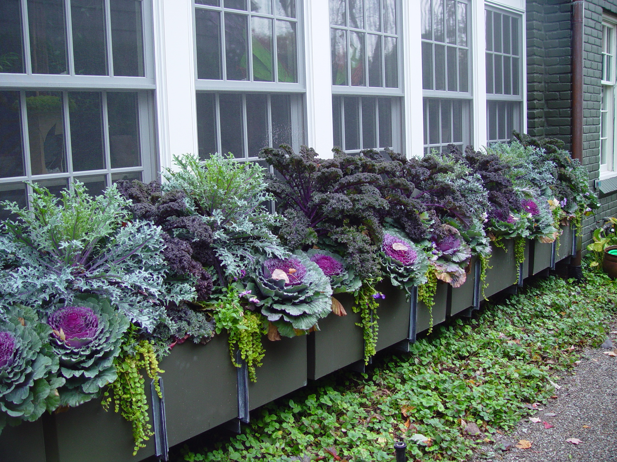 Garden boxes with edible and ornamental kale